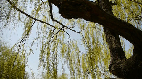 Dense willows by sparkling lake,blue sky background Stock Video Footage