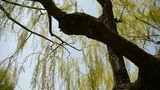 Dense willows by sparkling lake,blue sky background Footage