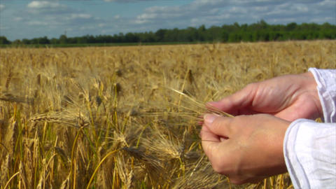 10717 woman hands control wheat close Stock Video Footage
