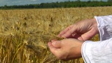 10717 woman hands control wheat close Footage