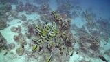 Bannerfish on Coral Reef, Red sea Footage