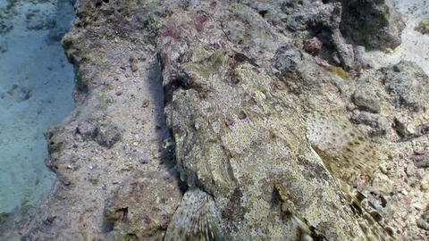 Crocodile fish on Coral Reef, Red sea Stock Video Footage