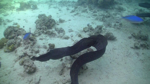 Morays on Coral Reef, Red sea Stock Video Footage