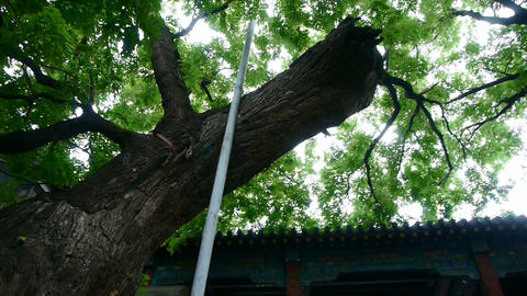Chinese ancient building & lush old green trees,breeze blowing leaves Footage