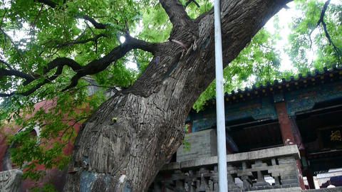 stout rough tree trunks & Chinese ancient... Stock Video Footage