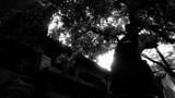 stout rough tree trunks & Chinese ancient building,breeze blowing leaves Footage
