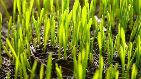 verdant wheat seedling in sun Stock Video Footage