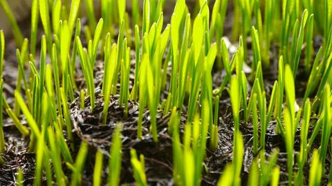 verdant wheat seedling in sun Stock Video Footage