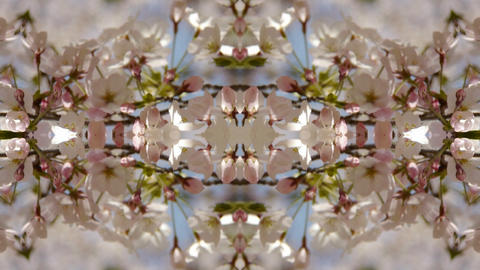 beautiful cherry blossoms tremble in wind,Kaleidoscope Stock Video Footage