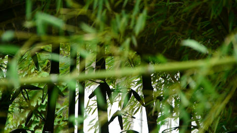 wind shaking bamboo,quiet atmosphere silhouette Stock Video Footage