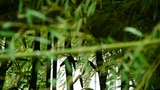 wind shaking bamboo,quiet atmosphere silhouette Footage