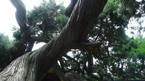 stout rough cypress tree trunks,breeze blowing leaves Stock Video Footage