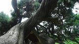 stout rough cypress tree trunks,breeze blowing leaves Footage