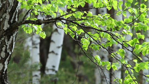 spring birch Stock Video Footage