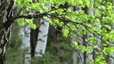spring birch Footage