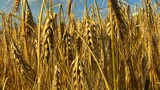 10714 wheat rye corn field background Footage