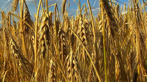 10714 wheat rye corn field background Stock Video Footage