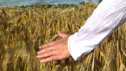 10715 womans hand brushing wheat field end of wheat Stock Video Footage