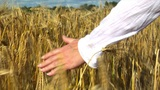 10715 Womans Hand Brushing Wheat Field End Of Wheat stock footage
