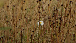 white flower on a yellow field Stock Video Footage