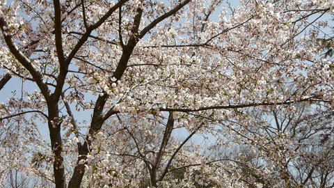 beautiful cherry blossoms tremble in wind Footage