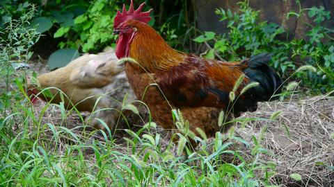 grass farm chicken cock Stock Video Footage
