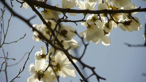 Beautiful magnolia bloom in sunshine Footage