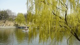 Dense Willows By Sparkling Lake,Tourists Cruise Ships On Water stock footage