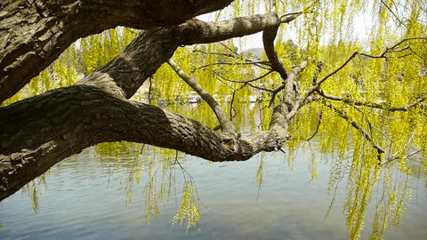 Dense willows by sparkling lake Stock Video Footage