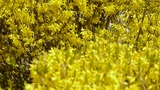 Winter jasmine in the sunshine Footage