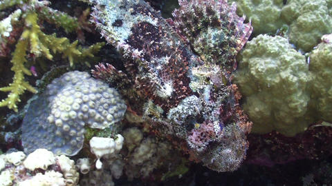Stonefish on Vibrant Coral Reef, Red sea Stock Video Footage