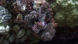Stonefish on Vibrant Coral Reef, Red sea Footage