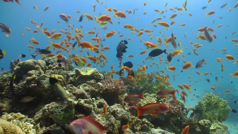 Colorful Fish on Vibrant Coral Reef, static scene, Red sea Stock Video Footage