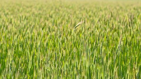 ears of wheat. 4K. FULL HD, 4096x2304 Footage