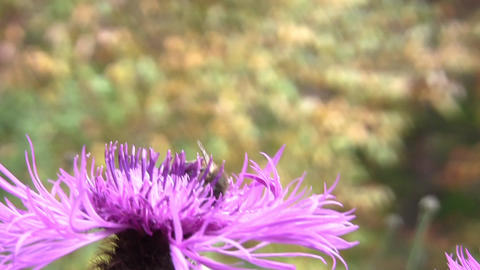 Purple thistle flower with bee pollen searching Footage