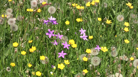 Field with purple flowers, yellow flowers and dandelions 83 Footage
