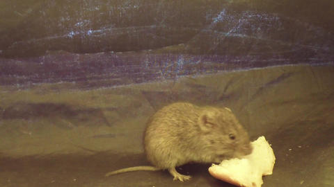 Adventures of a mouse in a tent Footage