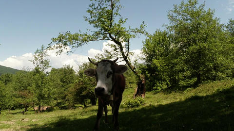 beautiful cow looking into the camera and chews the average plan on background o Footage