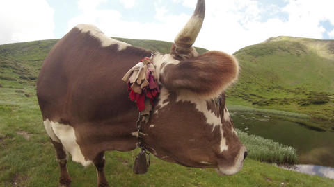 beautiful eyes and antlers cow muzzle close up for the camera on a green mountai Footage