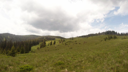high speed film herd of cows grazing on a huge green meadows in the mountains Footage