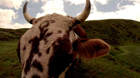 cow muzzle climb into the camera close-up against the blue sky and green lawn Footage