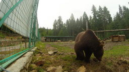 brown bear near a metal fence turns the stones and looking into the camera lens Live Action