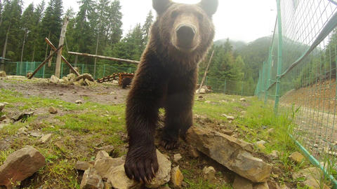brown bear near a metal fence turns the stones and looking into the camera lens Footage