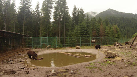 a few brown bears in cloudy weather in a special sanatorium bear on holiday by t Live Action