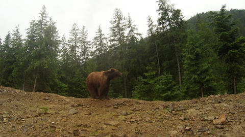 brown bear in cloudy weather on the rocky edge of a pine forest mountain general Footage