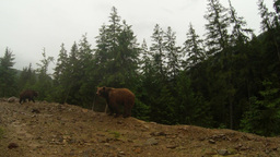 brown bear in cloudy weather on the rocky edge of a pine forest mountain general Live Action