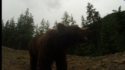 brown bear in cloudy weather on the rocky edge of a pine forest close-up of moun Footage