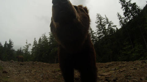 Two brown bears at the edge of a rocky mountain conifer forests under a slight d Footage