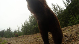 brown bear close up, poses for the camera at the edge of a rocky mountain pine w Live Action