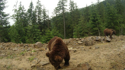Two brown bears at the edge of a rocky mountain pine woods under a small rain Footage